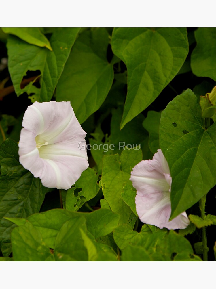 Sea Bindweed, Muckross Head, Donegal by VeryIreland