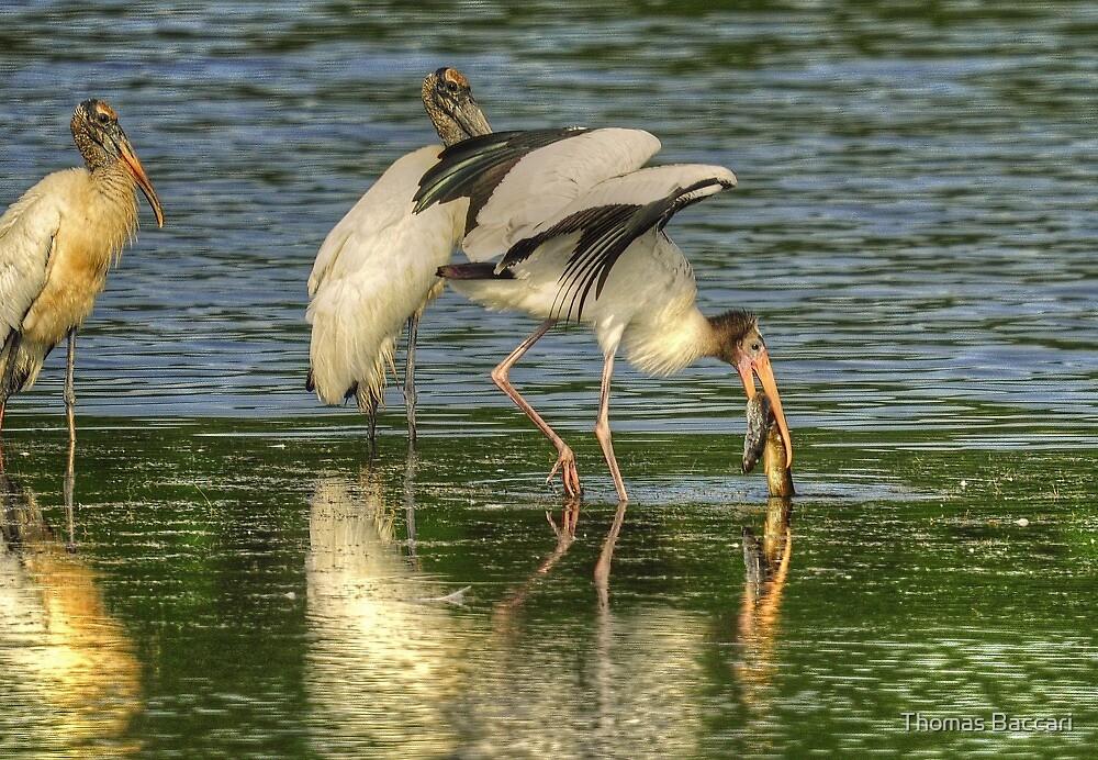 Stork Grabs Huge EEL by TJ Baccari Photography