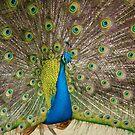 Peacock by Martina Fagan
