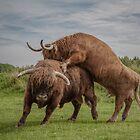 Highland Cows by Henri Ton