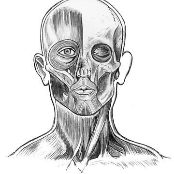 Human face anatomy by Robykat