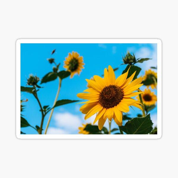 Beautiful Sunflowers Sticker