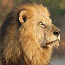 Mapogo lion in his prime by Anthony Goldman