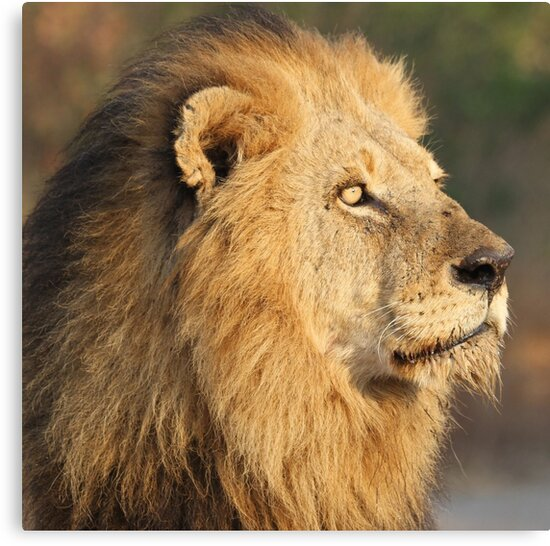 Mapogo lion in his prime by jozi1