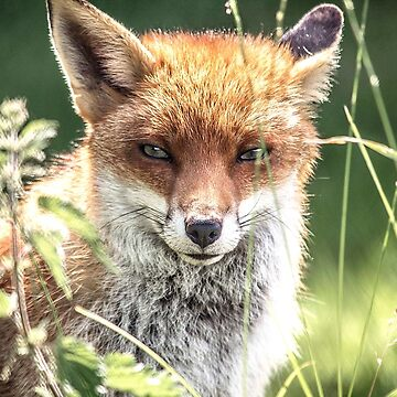 The young Fox by anthonyhedger