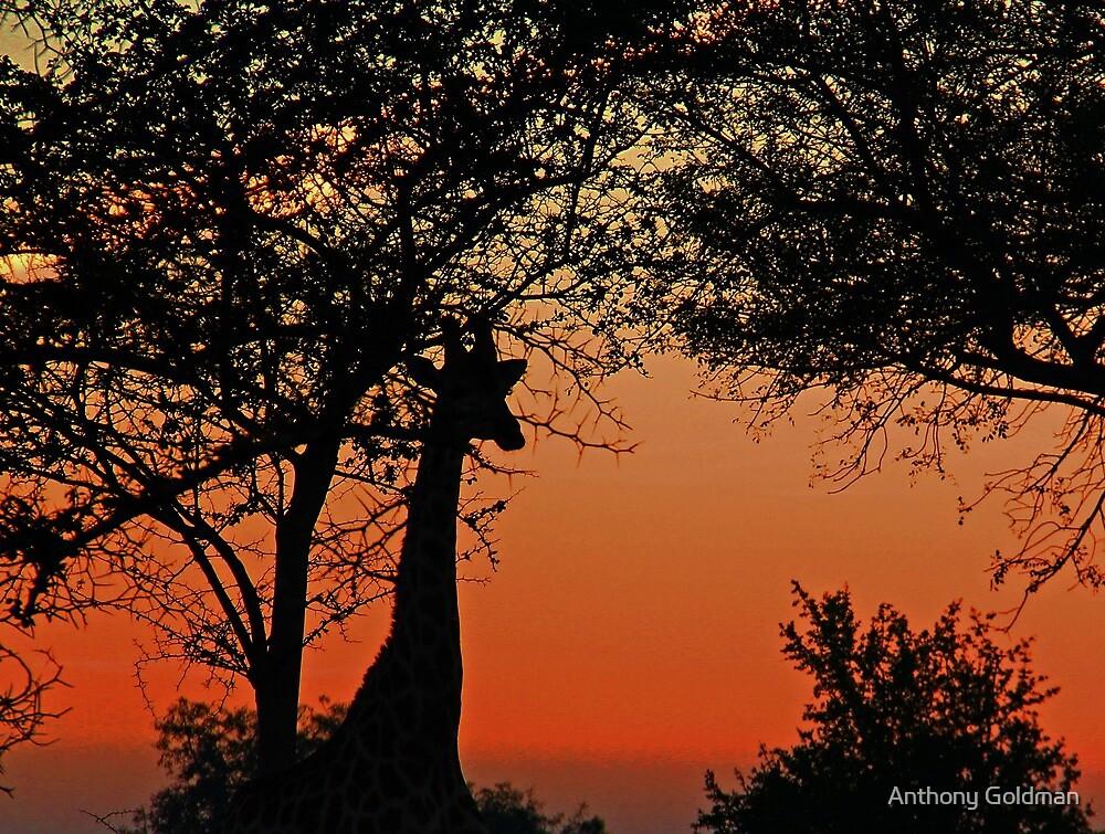 A Giraffe Sunrise by jozi1