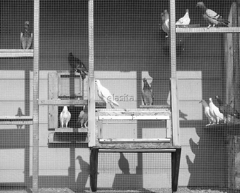Rock Doves in B & W by elasita