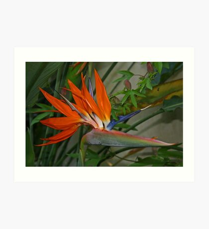 Bird of Paradise Flower Art Print