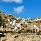 Counting Sheep (as they come over the brow in Solunto) by MarcW