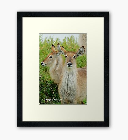 THE YOUNG ONES - THE WATERBUCK - Kobus ellipsiprymnus Framed Print
