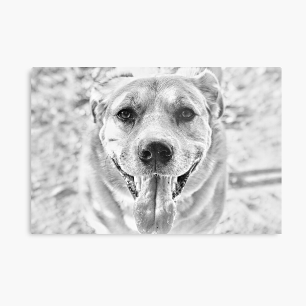 Happy Labrador Dog Metal Print
