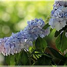 ~ Blue Hydrangea ~ by Brenda Boisvert