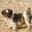 Shih Tzu on Beach with Tongue Out by Kawka