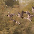 Geese as they fly  by ruth  jolly