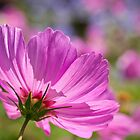 Cosmos in the sunshine by Celeste Mookherjee