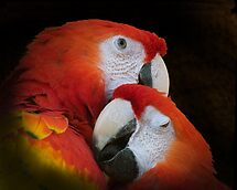 Parrot couple by hanspeters