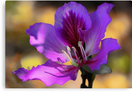 Hong Kong Orchid Tree Blossom --- Early Morning Light by T.J. Martin