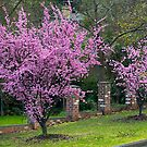 Spring Blossom, Flowering Almond Trees, Berwick, Australia. by johnrf