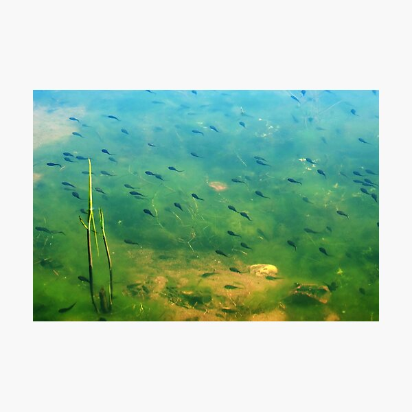 A ditch full of tadpoles Photographic Print