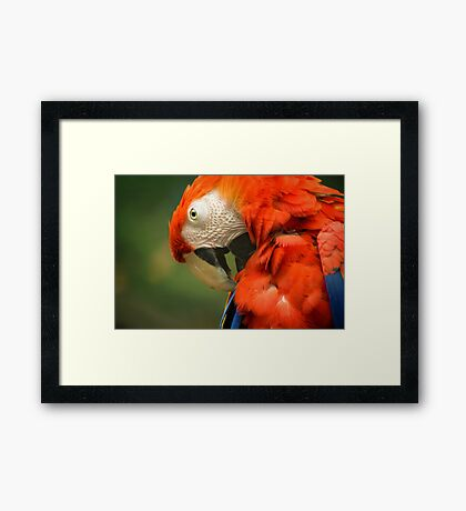 Red Parrot, the Scarlet Macaw – portrait Framed Print