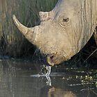 Rhino Drinking! by Anthony Goldman