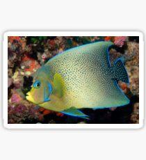 Semicircle Angelfish, Ningaloo Reef Sticker