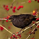 Blackbird breakfast. by JanSmithPics