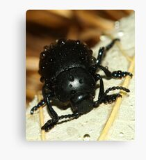 Bloody nose beetle in the rain. Canvas Print