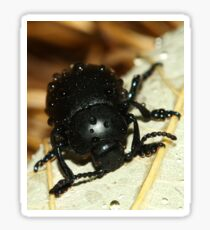 Bloody nose beetle in the rain. Sticker