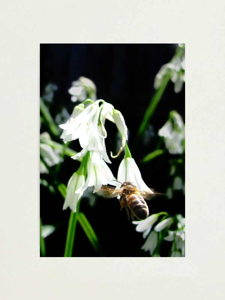 Alternate view of Hovering Bee Photographic Print
