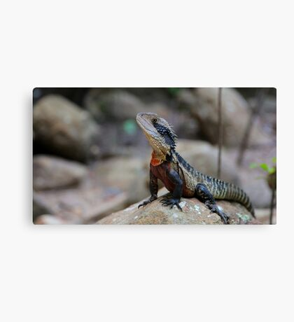 Water dragon, Blue Mountains Canvas Print