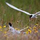 Arctic terns, Eastern Iceland by Erland Howden