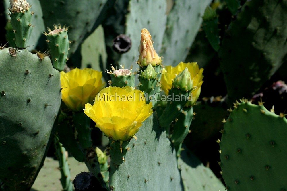 Cactus Flowers by Michael McCasland