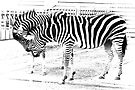 Zebras in high key by missmoneypenny