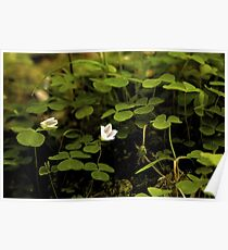 Wood Sorrel, Ness Woods, County Derry Poster