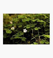 Wood Sorrel, Ness Woods, County Derry Photographic Print