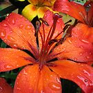 A Refreshing Orange - Lily After Rain by BlueMoonRose