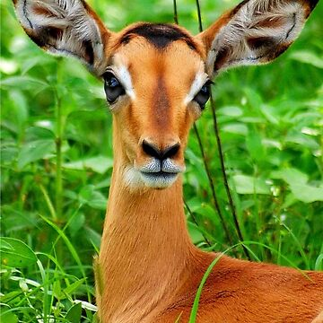 THE BABY IMPALA -  IMPALA - aepyceros melampus by mags