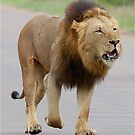 RESPECT WITHOUT CHOICE - THE LION - Panthera leo - LEEU by Magriet Meintjes