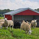 Sheep Farm by Maryna Gumenyuk