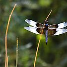 Widow Skimmer on a stick  by Ruth  Jolly