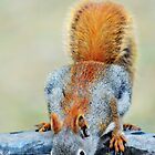 Thirsty Red Squirrel by Laurie Minor