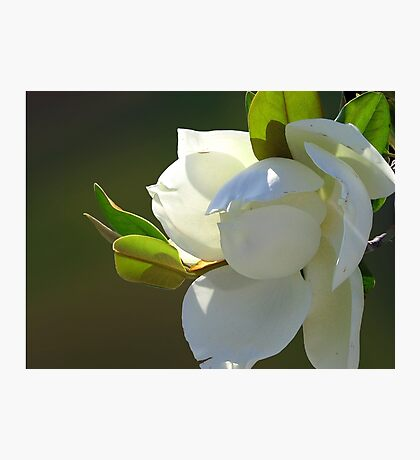 Magnolia 3.1 Photographic Print