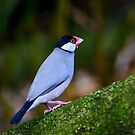 Jarva Finch (Sparrow) by Chris  Randall
