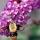 hummingbird moth by Dennis Cheeseman