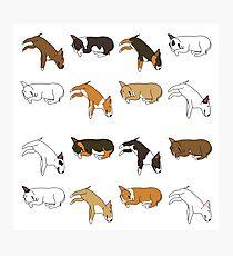 Lazy Bull Terrier - White Photographic Print