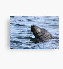Big Bob the seal Metal Print