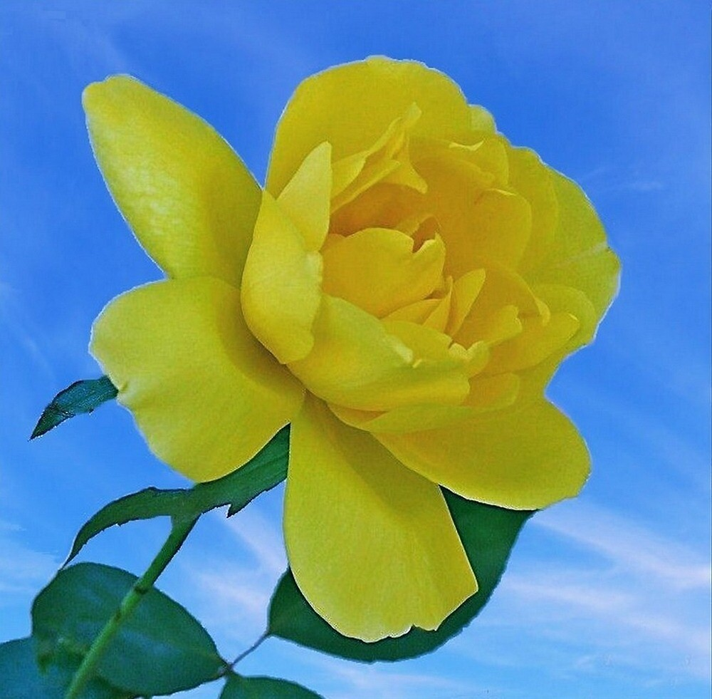 A Yellow Rose by RickDavis