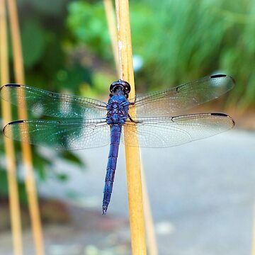 Great Blue Skimmer by hannahsview