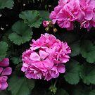 Gentle Geraniums von BlueMoonRose